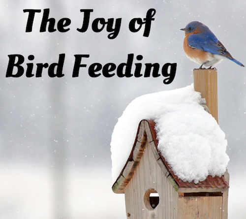 The Joy of Bird Feeding. An eastern bluebird sits atop a birdhouse post. The wooden birdhouse is covered in snow.
